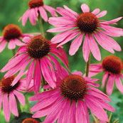 photo of coneflower